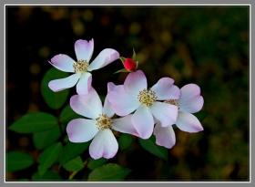 小小蔷薇花