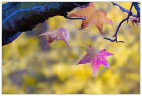 冬日里的枫叶