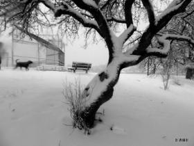 枝頭積雪白茫茫