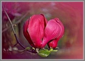 红红的玉兰花