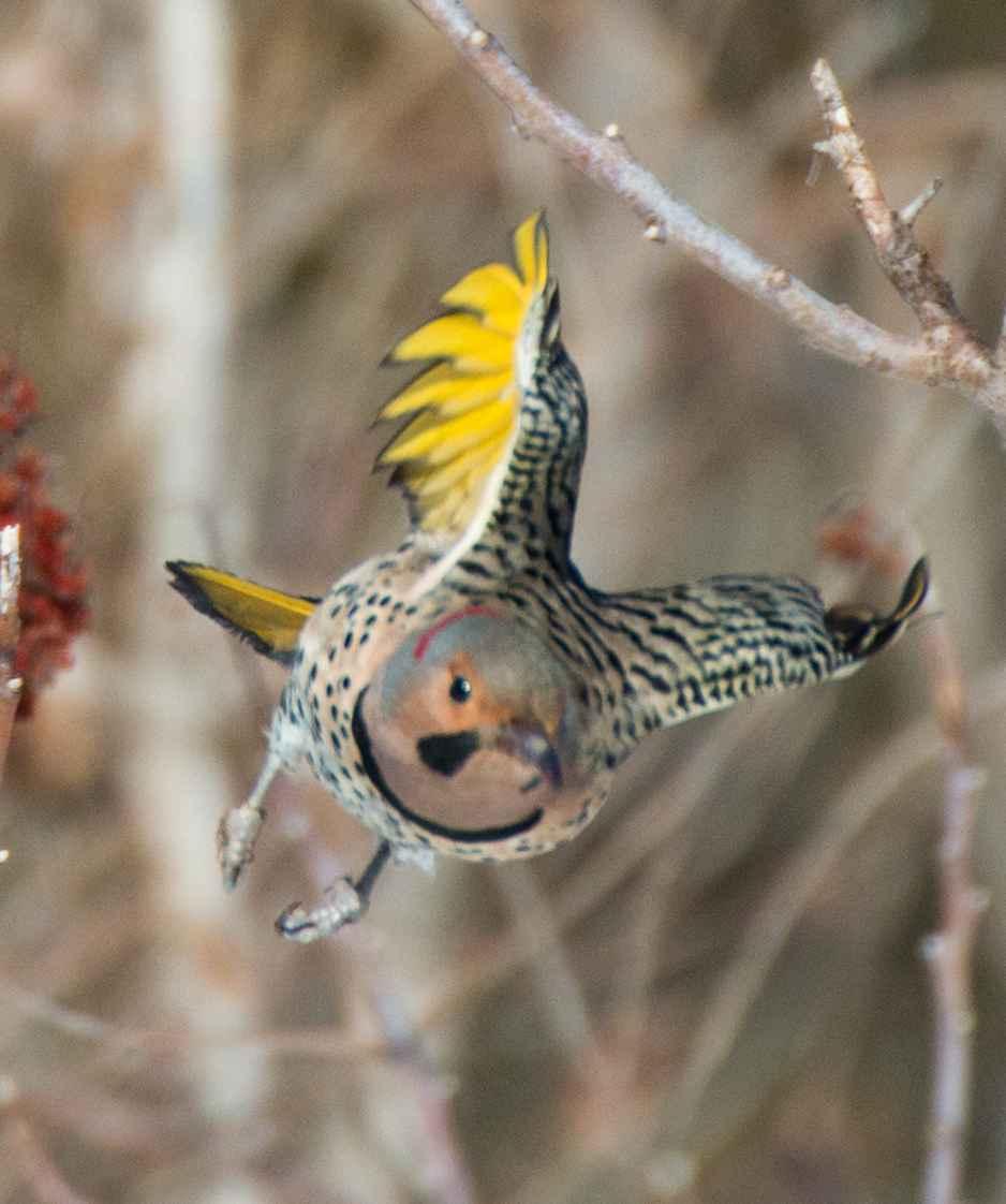 北扑翅 啄木鸟_图1-8