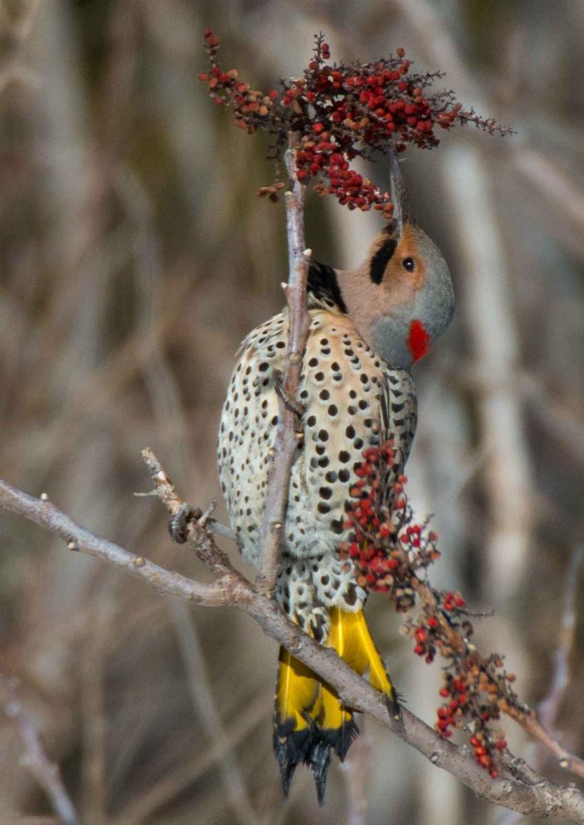 北扑翅 啄木鸟_图1-5