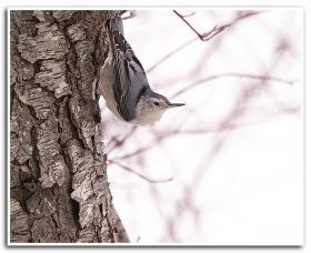 月影 小鸟就是不低头--白胸市鸟