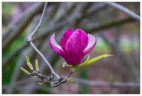美艳动人的玉兰花