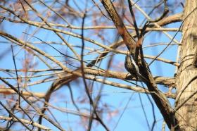 给森林树木治病的好大夫 -  啄木鳥