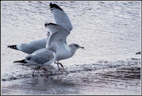 【star8拍攝】海边的海鸥