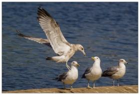 在湖边拍海鸥也很过瘾!
