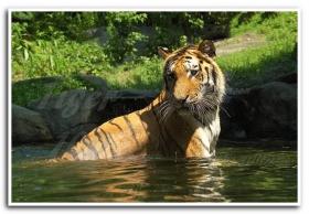 月影 老虎出浴