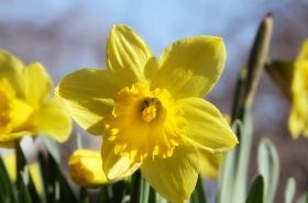 纽约迟来的春天【黄水仙】开花了!