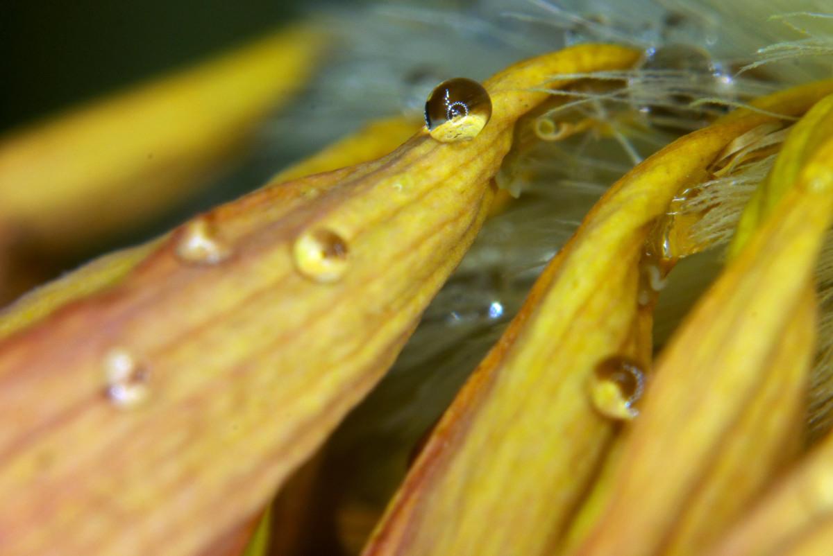 花瓣上的水珠-微距摄影_图1-6