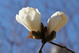 曼哈顿~木兰花开素白的花瓣优雅的香!