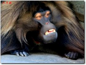 六只眼:狒狒的午休时间