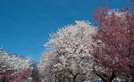 新州赏樱花_图1-6