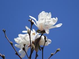 蓝天下的白玉兰
