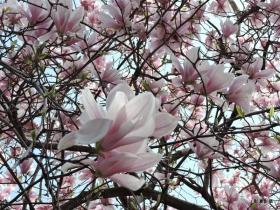 木蘭花的風情