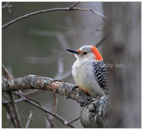 【小虫摄影】到我家做客--啄木鸟
