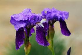 【鸢尾花】在雨中对春天的告白!