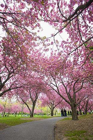 樱花盛开的季节_图1-1