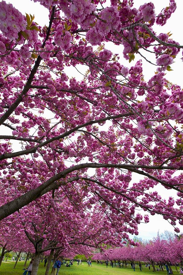 樱花盛开的季节_图1-2