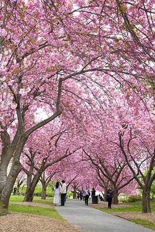 樱花盛开的季节_图1-3