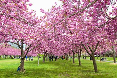 樱花盛开的季节_图1-4