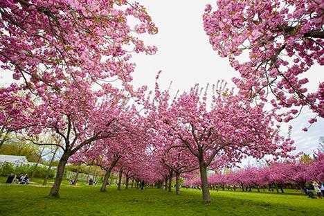 樱花盛开的季节_图1-6