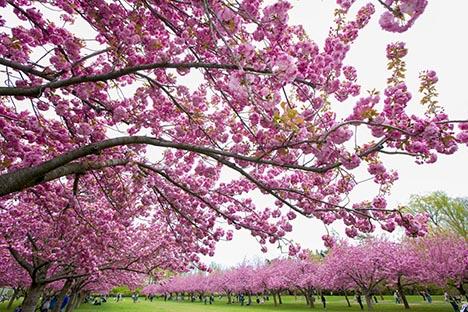 樱花盛开的季节_图1-8