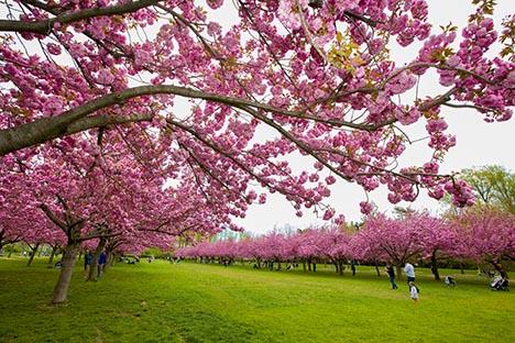 樱花盛开的季节_图1-9