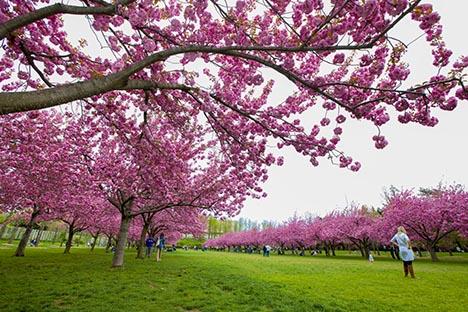 樱花盛开的季节_图1-10