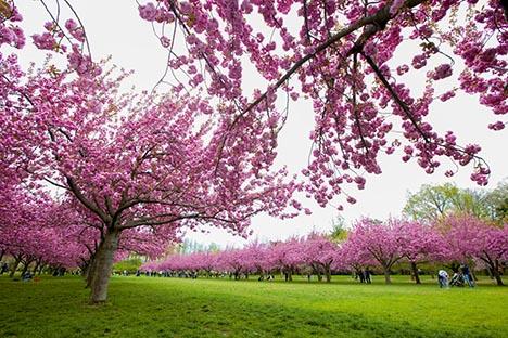 樱花盛开的季节_图1-11