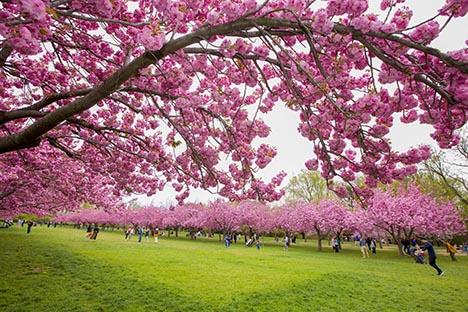 樱花盛开的季节_图1-12