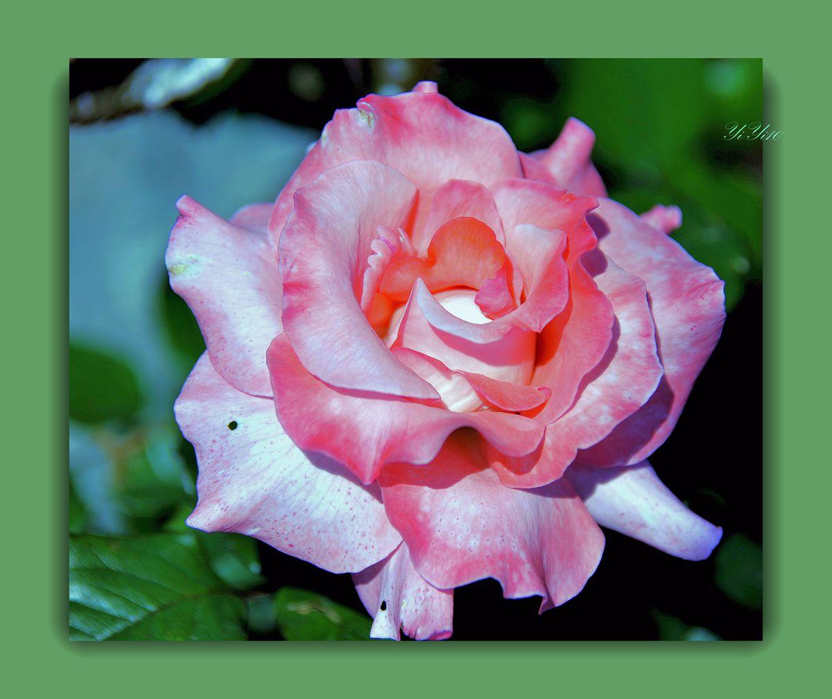 【原創】陽光下的五彩玫瑰(攝