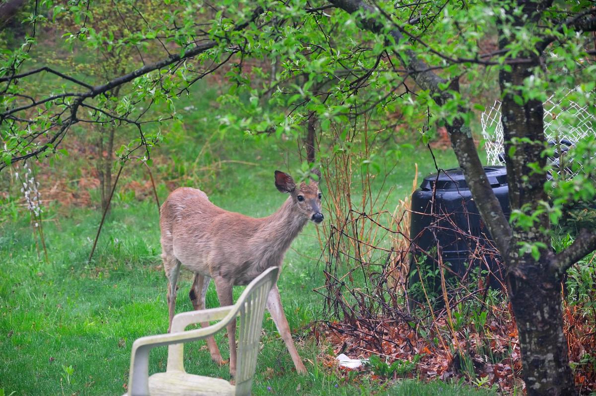 后院来了一只鹿_图1-1