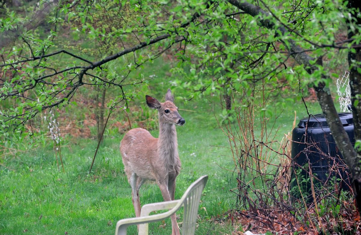 后院来了一只鹿_图1-2