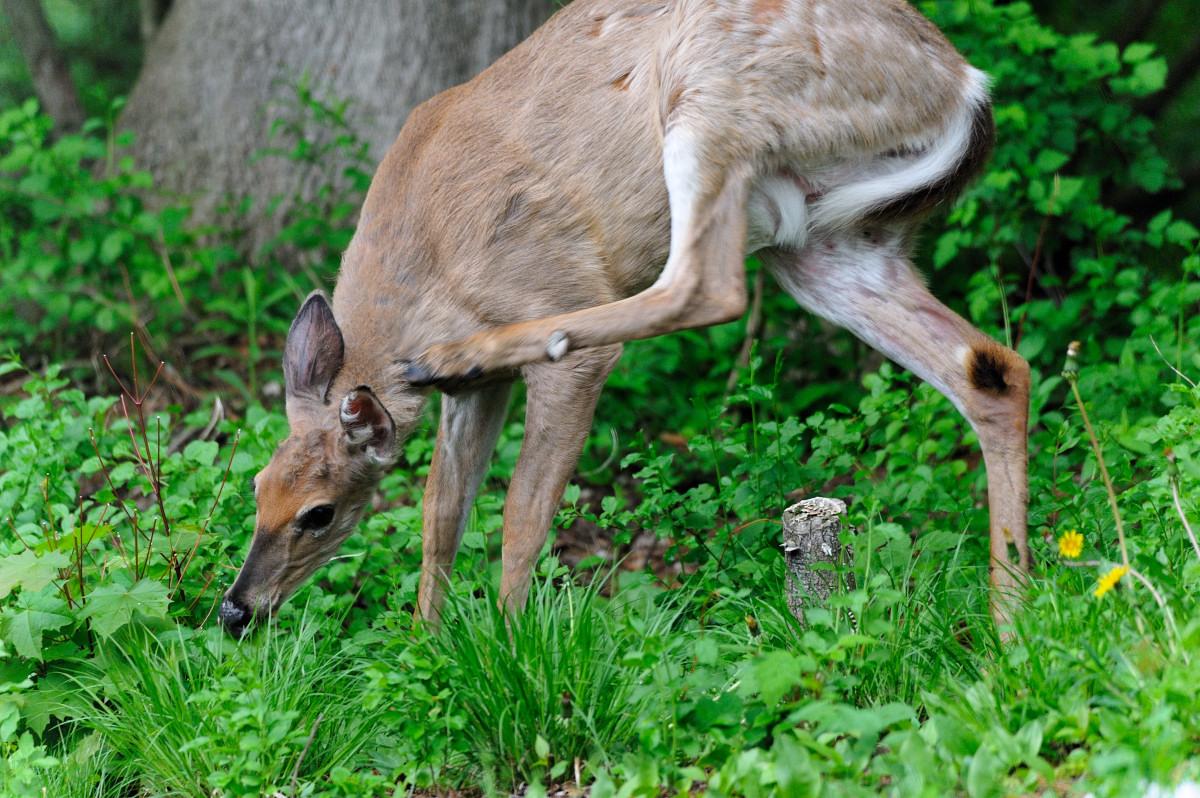 后院来了一只鹿_图1-4