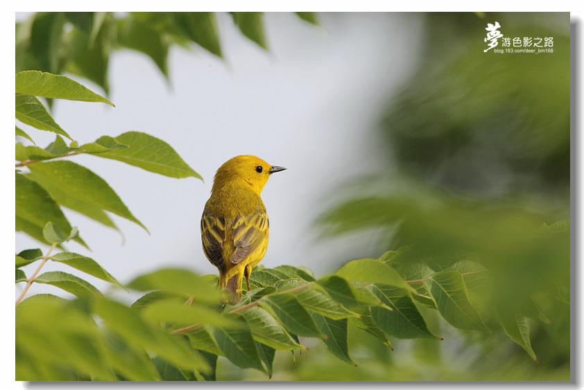 〖梦游摄影〗黄莺2_图1-9