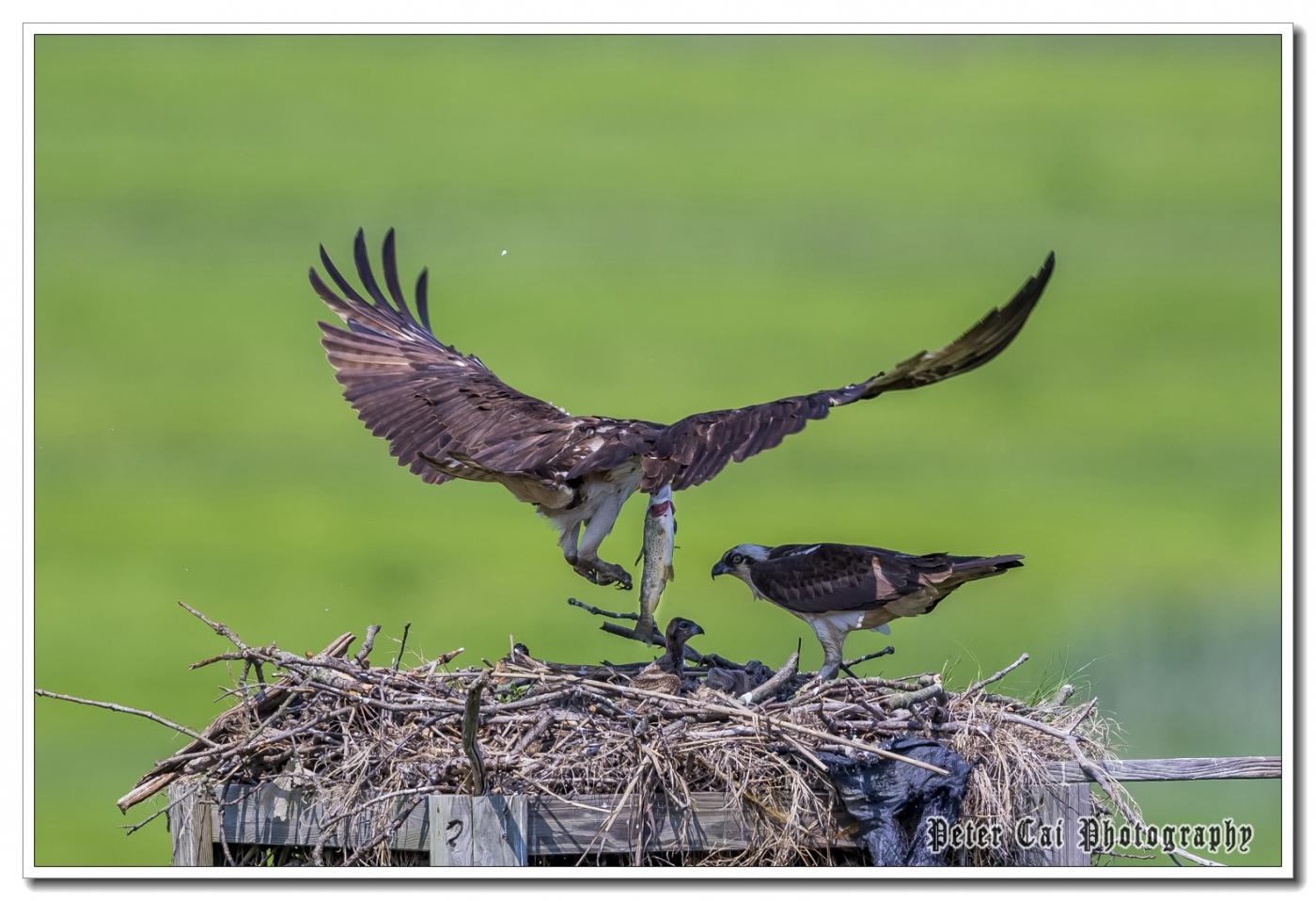 小鹰捕鱼哺育后代的精彩写照