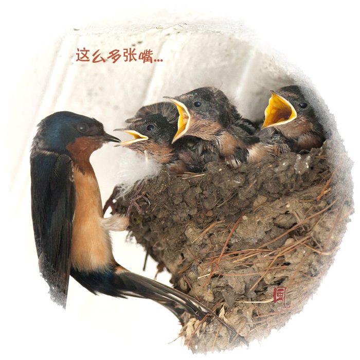 【风】 嗷嗷待哺 - 小燕子_图1-1