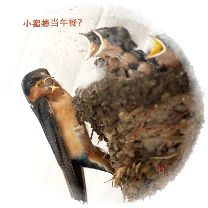 【风】 嗷嗷待哺 - 小燕子_图1-3