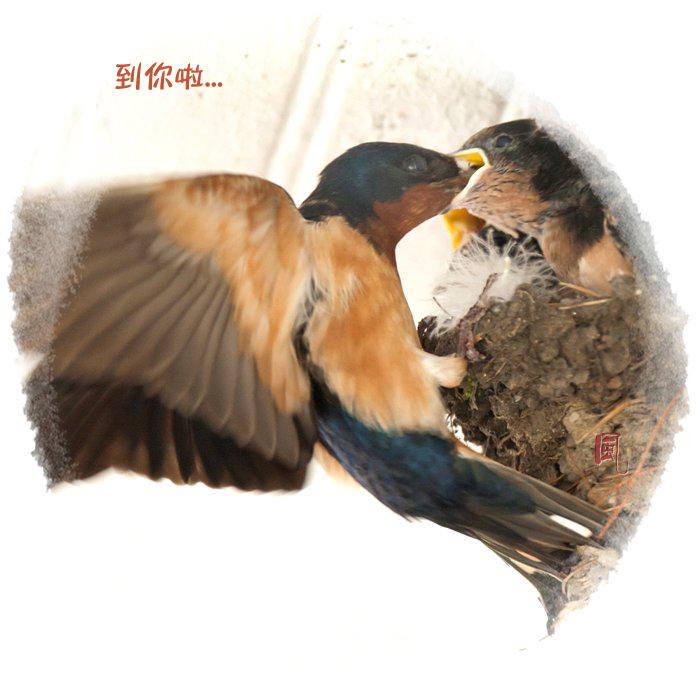 【风】 嗷嗷待哺 - 小燕子_图1-4