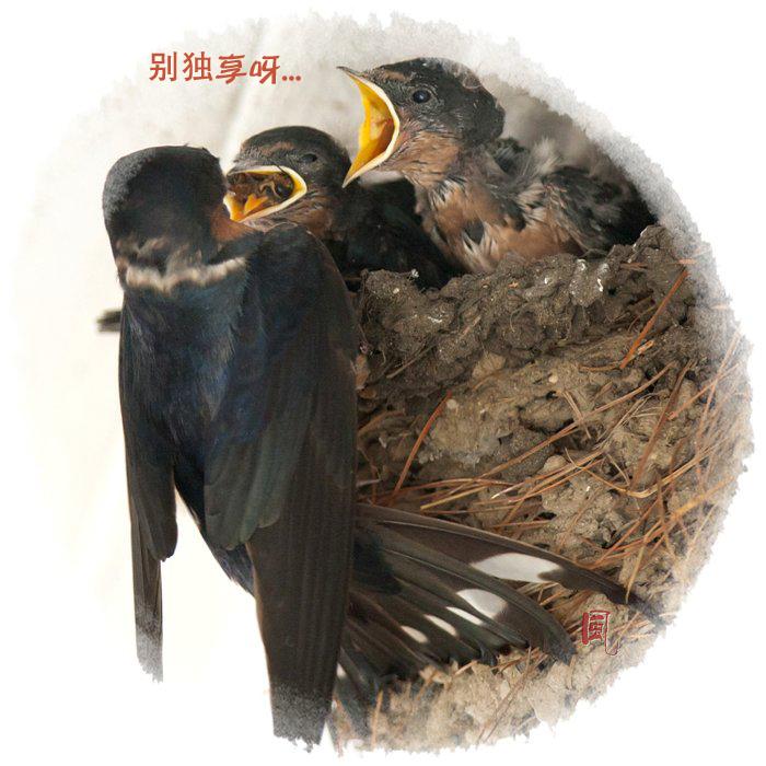 【风】 嗷嗷待哺 - 小燕子_图1-6