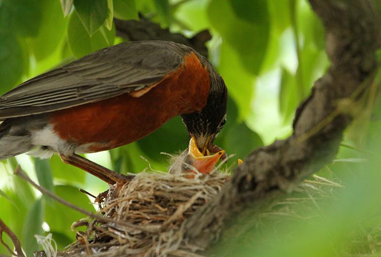 抓拍~大鸟给小鸟喂食精彩瞬间!_图1-7