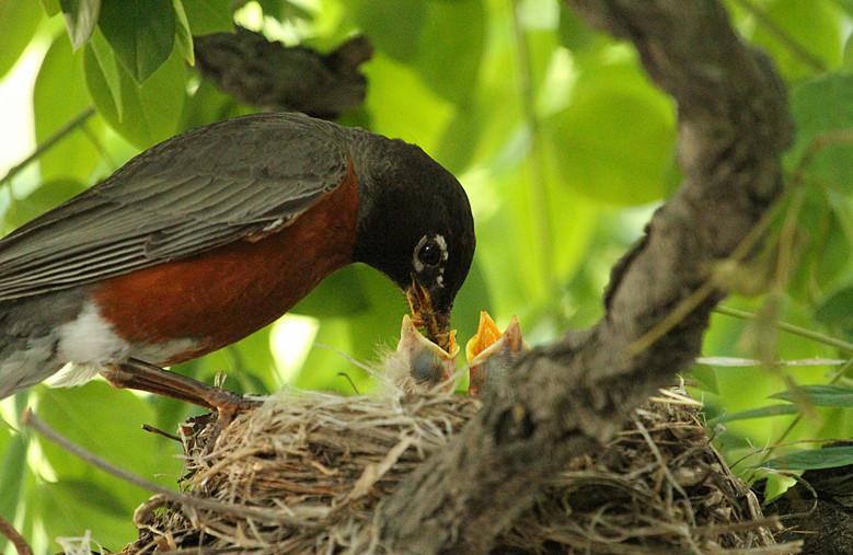 抓拍~大鸟给小鸟喂食精彩瞬间!_图1-22