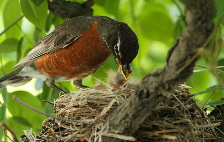 抓拍~大鸟给小鸟喂食精彩瞬间!_图1-28