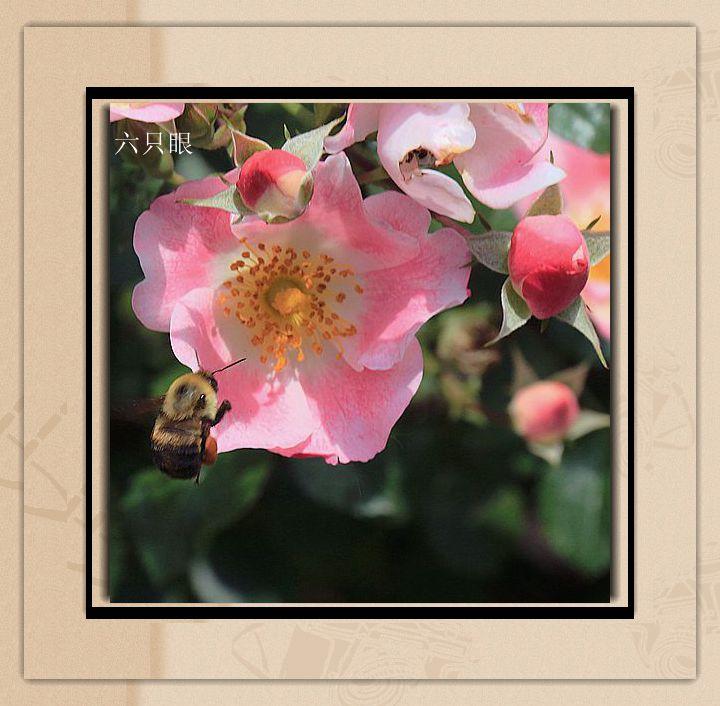 六只眼:羞答答的玫瑰 静悄悄的开_图1-6