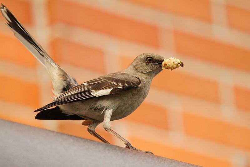 小嘲鸫叼桑枣喂小【Northern Mockingbird】_图1-1