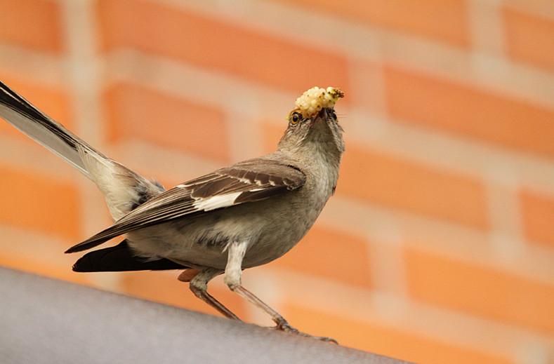 小嘲鸫叼桑枣喂小【Northern Mockingbird】_图1-2