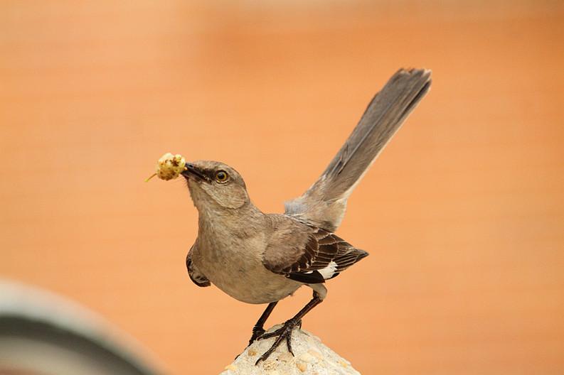 小嘲鸫叼桑枣喂小【Northern Mockingbird】_图1-3