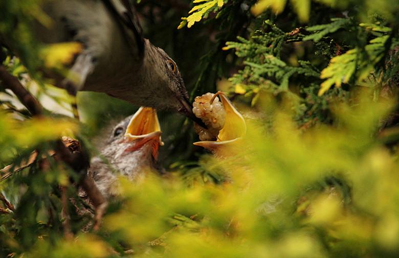 小嘲鸫叼桑枣喂小【Northern Mockingbird】_图1-5