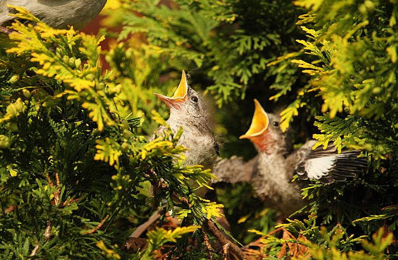 小嘲鸫叼桑枣喂小【Northern Mockingbird】_图1-14
